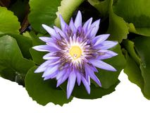 Purple water lilly , Isolated on white background. Close up of purple water lilly : Isolated on white background stock images