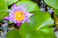 Purple water lilly with leaves. Royalty Free Stock Photography
