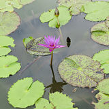 Purple Water Lilly or Lotus in the pond Stock Photo