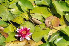 Purple water lilly on the wild pond. Purple water lilly or lotus on the wild pond stock photos