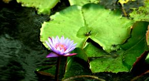 PURPLE WATER LILLY. ON WATER IN POND IN KERALA TROPICAL INDIA Stock Photography