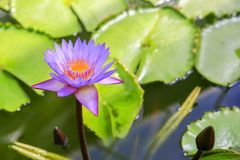 Purple Water Lilly in the pond of Wellington botanical garden. New Zealand Royalty Free Stock Photography
