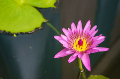 Purple water lilly on water background with leaves Stock Photos