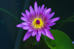 Purple water lilly on water background with leaves Stock Photo