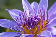 Purple Water Lily. In Thailand Stock Photos