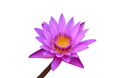 Purple Water Lily. On White Background Royalty Free Stock Images