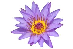 Purple water lily Stock Photography