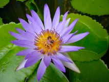 Purple Water Lily. On Water Stock Images