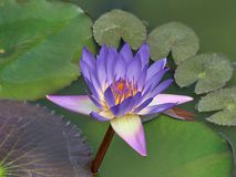 Purple water lily in apond stock image
