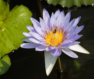 Purple water lily with bee inside Royalty Free Stock Photo
