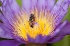 Purple water lily with bee in pollen, selective focus Stock Photography