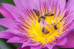 Purple water lily with bee. Smelling Bee pollen purple lotus ponds Stock Image