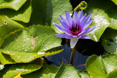 Purple water lily with big leafs Royalty Free Stock Photos