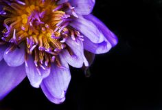 Purple water lily bloom on black background. royalty free stock photo