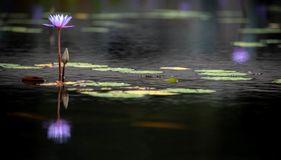 Purple water lily bloom and reflection. Water lily bloom in a pond in Singapore stock photo