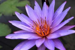 Water lily purple lotus Royalty Free Stock Photo