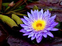 Purple Water Lily. Blue Star Water Lily sitting on lily pads Stock Image