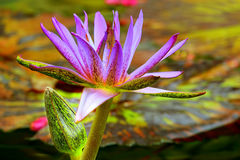 Purple Water Lily and bud Stock Photography