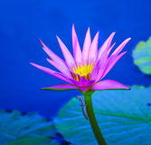 Purple water lily with a bug on the stem Royalty Free Stock Image