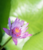 Purple water lily. With bugs in pond Royalty Free Stock Photo