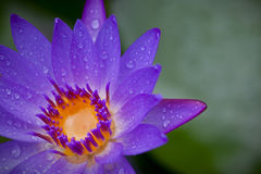 Water lily water drops Stock Photography