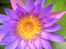 Purple water lily - close-up Royalty Free Stock Images