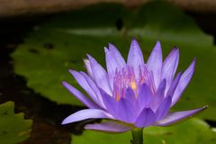 Purple water lily, close up , lotus. Close up photography of purple water lily in the pond royalty free stock image