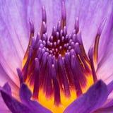 Purple Water Lily Closeup Royalty Free Stock Photos