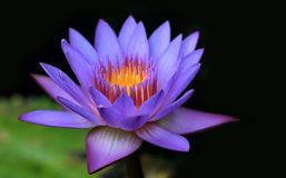 Purple water lily in a lake. Colourful purple water lily in a lake on a dark background royalty free stock image