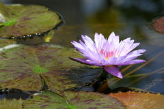 Purple water lily flower Stock Images
