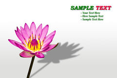 Purple water lily flower. On white background stock image