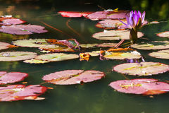 Purple Water Lily Flower And Lilypads In North Georgia Pond Royalty Free Stock Photos