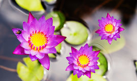 Purple water lily flower. Lotus on the water background Royalty Free Stock Photography