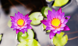 Purple water lily flower. Lotus on the water background Stock Images