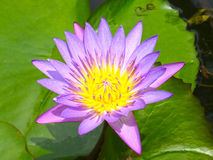 Purple Water Lily Flower. Pond Stock Image