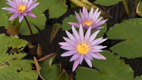 Purple water lily flower in pond Stock Photography