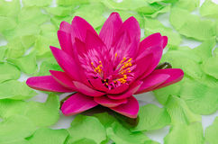 Purple water lily flower surrounded by green petals Stock Photos