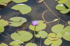 Purple water lily. Growing in wetland amongst lily pads Royalty Free Stock Photos