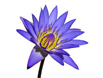 Purple Water Lily Isolated Stock Photos