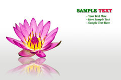 Purple water lily isolated. On white background royalty free stock photo