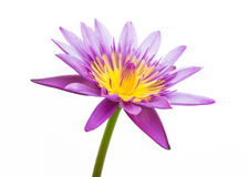 Purple water lily Isolated Stock Images