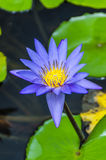 Purple water lily Royalty Free Stock Photo