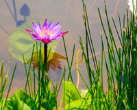 Purple water lily and lotus leaves on water Royalty Free Stock Photo