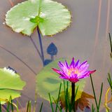 Purple water lily and lotus leaves on water Royalty Free Stock Images