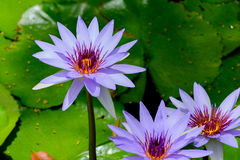 "Purple water lily Nymphaea ""Director T. Moore"" lilac. Purple water lily Nymphaea ""Director T. Moore"" with green lily pads in background royalty free stock photos"