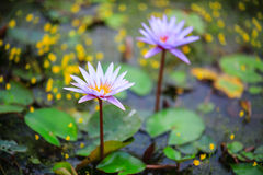 Purple water lily. Water lily or Nymphaea is a genus of hardy and tender aquatic plants in the family Nymphaeaceae. The genus has a cosmopolitan distribution royalty free stock photos