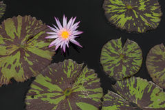 Purple Water Lily Royalty Free Stock Image