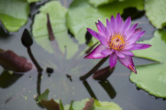 Purple water lily. Stock Photography