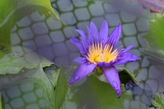 Purple water lily in pond stock photos