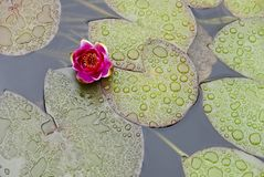Purple water lily in a pond on a rainy day stock photo